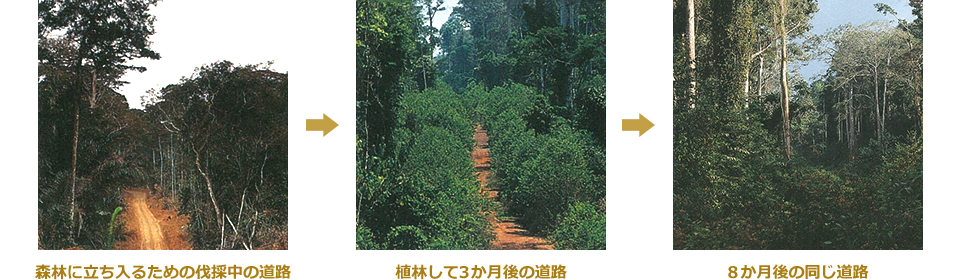 原料木となるアユースの伐採