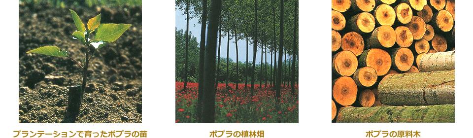 原料木となるポプラの栽培